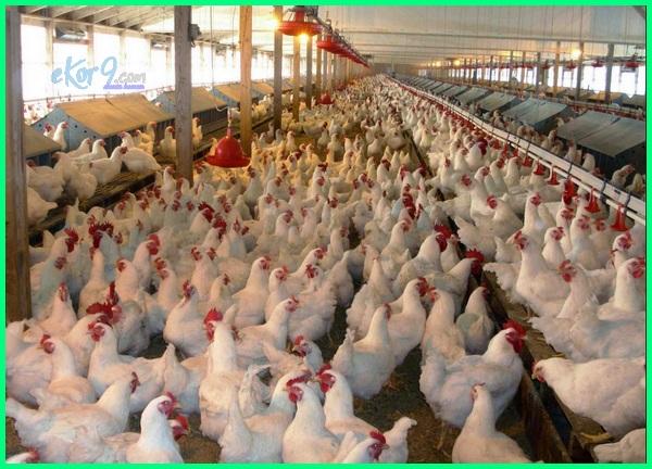 Gambar breeding farm, freeding farm image, broiler bertelur, ayam broiler bertelur, broiler bisa bertelur, bisakah ayam broiler bertelur, apakah ayam broiler bertelur, usia ayam broiler bertelur, agar ayam broiler bertelur, dapatkah ayam broiler bertelur
