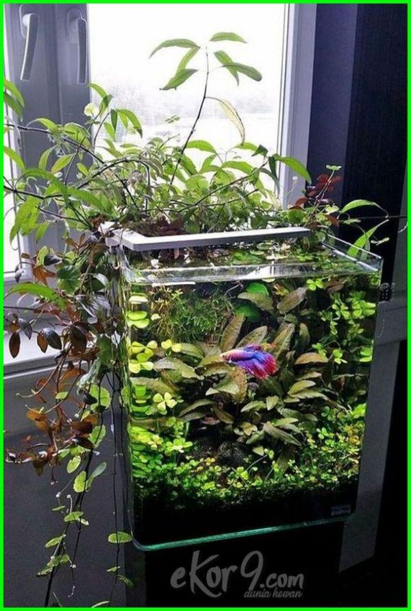 10 Gambar Aquarium Ikan Cupang Unik Minimalis, Baik untuk ...