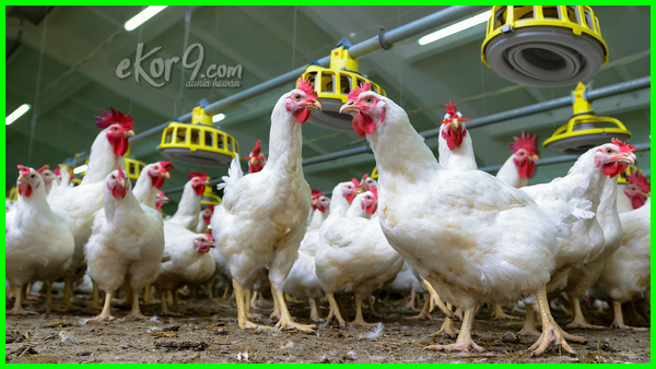Bagaimana Agar Ayam Broiler Bertelur Betina Bisa Bertelur Bisakah Dapatkah Atau Apakah Broiler Dapat Mengeluarkan
