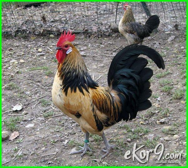 ayam kate besar terbesar di dunia agar cepat cara membuat makanan pakan biar merawat telur