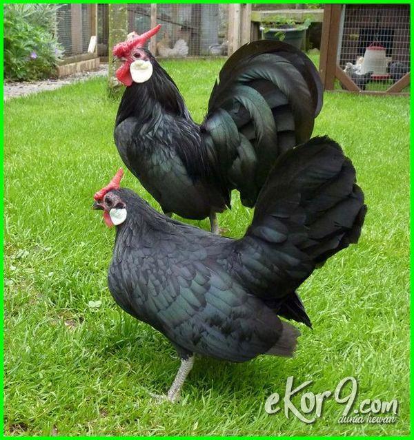 ayam kate termahal di dunia, ayam kate terbagus di dunia, ayam kate tercantik di dunia, ayam kate terbesar di dunia, ayam kate terunik di dunia, ayam kate terpendek di dunia, gambar ayam kate termahal di dunia, foto ayam kate terbagus di dunia, foto ayam kate termahal di dunia