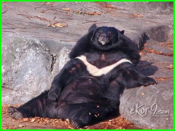 binatang gemuk pendek bila dan bulat video yang yg paling terlalu nya shio berbadan berkaki hewan asal sumatera angka togel semua haiwan comel semuanya gendut lucu gambar gemuk/kurus di dunia sungai binatangnya apa