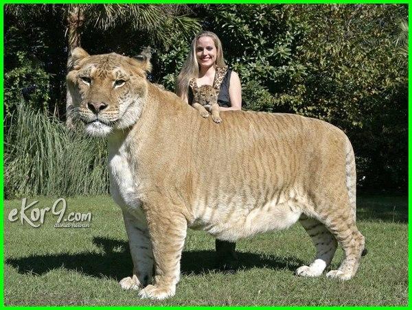 kucing terbesar di dunia, kucing terbesar di dunia mati, kucing terbesar di dunia adalah, kucing terbesar di dunia nyata, kucing terbesar dan terberat di dunia, gambar kucing paling terbesar di dunia, 10 jenis kucing prasejarah terbesar di dunia