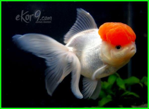 23 Jenis Ikan Mas Koki Yang Paling Bagus Termahal Di Pasaran