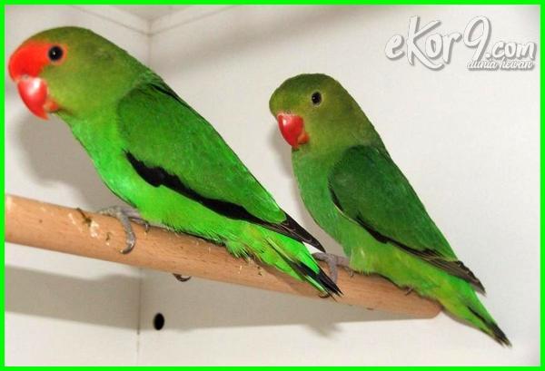 urutan lovebird terbaik, vitamin lovebird terbaik, warna lovebird terbaik, lovebird warna terbaik, warna burung lovebird terbaik, burung lovebird warna terbaik, pakan love bird yang terbaik, jenis burung lovebird yang terbaik, jenis lovebird yang terbaik