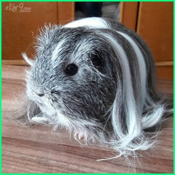 super cute guinea pigs
