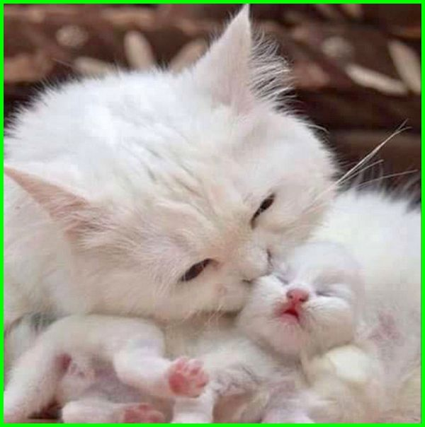 Contoh Gambar Cara Mewarnai Kucing Anggora - KataUcap