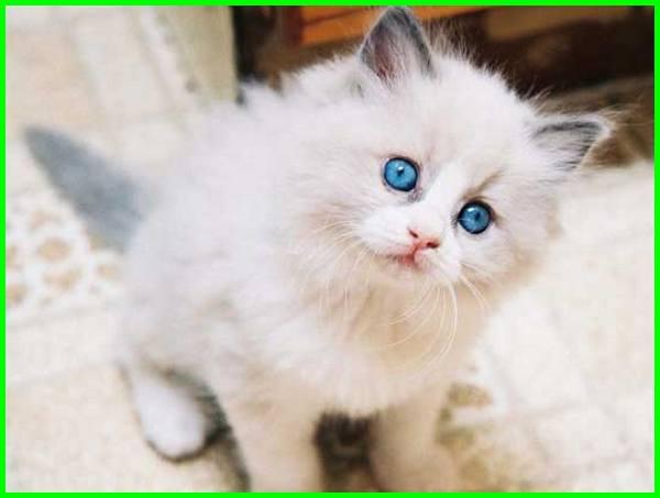 gambar kucing anggora, gambar kucing anggora lucu dan menggemaskan, gambar kucing anggora asli, gambar kucing anggora lucu, gambar kucing anggora beserta harganya, gambar kucing anggora lucu imut, gambar kucing anggora yang lucu