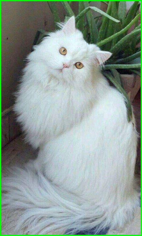 kucing anggora tercantik di dunia, kucing anggora tercantik, foto kucing anggora tercantik, gambar kucing anggora tercantik, harga kucing anggora tercantik di dunia, foto kucing anggora tercantik di dunia