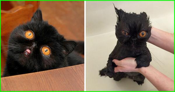gambar kucing mandi, gambar kucing lagi mandi, gambar kucing sedang mandi, gambar kucing dimandiin