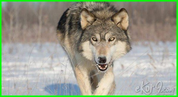 hewan paling banyak membunuh manusia, hewan yang sering membunuh manusia, hewan yang bisa membunuh manusia, hewan yang banyak membunuh manusia, hewan yang dapat membunuh manusia, hewan yang pernah membunuh manusia