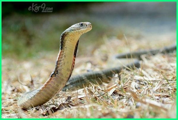 ular paling berbisa di Indonesia