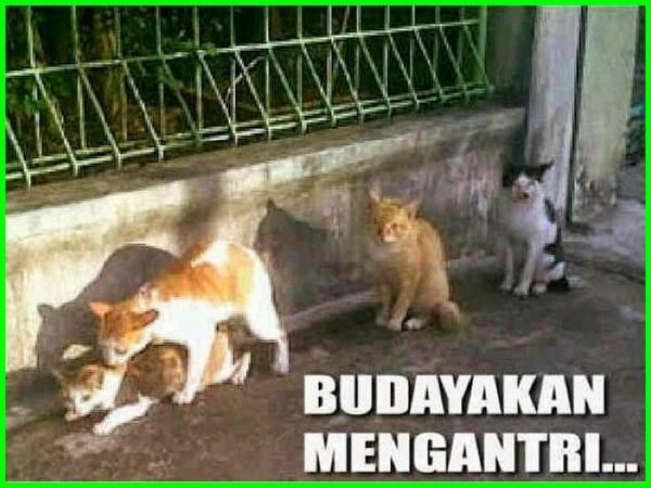 kucing kawin, kucing gitu-gituan