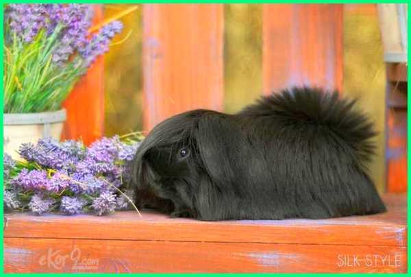 cute guinea pig pics