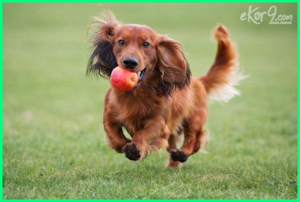 anjing makan apel, apakah anjing dapat makan apel, apa anjing diperbolehkan makan buah apel