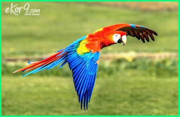 gambar burung macaw merah skarlet scarlet