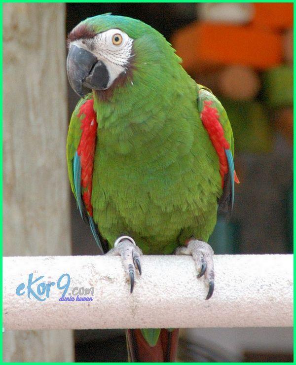 macam jenis burung macaw cantik terbaik paling bagus di dunia gambar beserta harganya