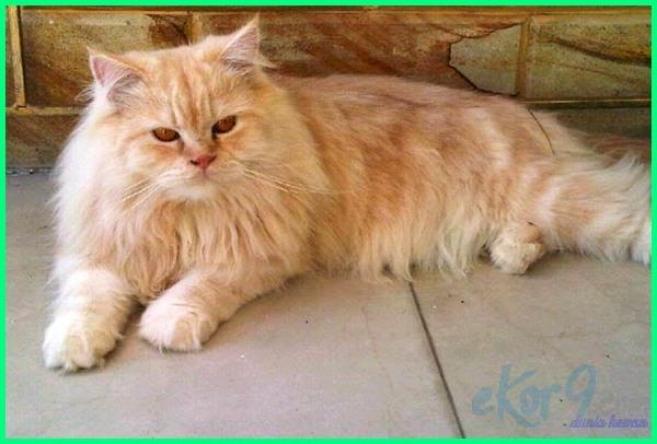 gambar kucing bulu lebat
