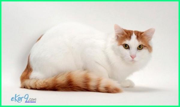 jenis kucing kepala besar