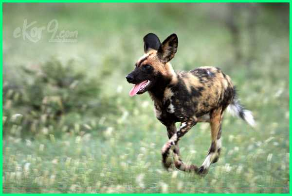 anjing tercepat, anjing tercepat dunia, anjing pemburu tercepat di dunia, 10 anjing tercepat, anjing pelari tercepat, anjing lari tercepat, anjing pelari tercepat di dunia, 10 anjing tercepat di dunia, jenis anjing tercepat di dunia, anjing dengan lari tercepat, anjing tercepat di dunia, anjing lari tercepat di dunia, jenis anjing tercepat, jenis anjing lari tercepat, jenis anjing pelari tercepat