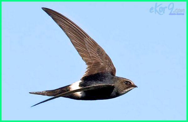 burung yang terbang tercepat, burung yang tercepat di dunia, burung apa yang tercepat di dunia, 10 burung tercepat di dunia 10 burung tercepat, 5 burung tercepat