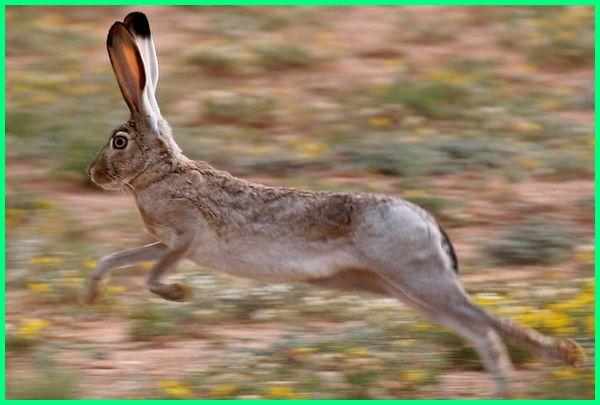 hewan dengan lari paling cepat, hewan yg paling cepat lari, binatang lari nya cepat, binatang lari paling cepat, hewan yang lari paling cepat, hewan yang larinya paling cepat
