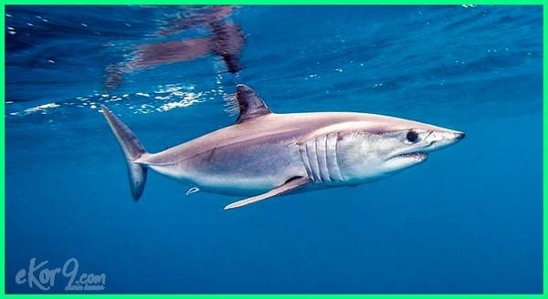 ikan paling cepat berenang