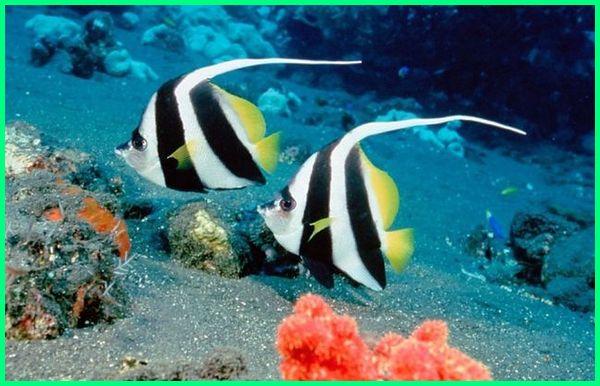 umur ikan hias air laut