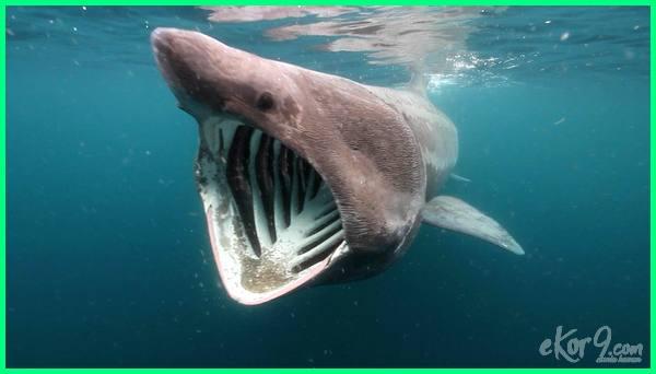 ikan raksasa di dunia, ikan raksasa terbesar di dunia, video ikan raksasa di dunia