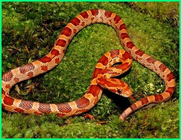 ular peliharaan bagi pemula, cara merawat ular bagi pemula, ular yang cocok buat pemula, ular yang cocok bagi pemula, tips memelihara ular bagi pemula