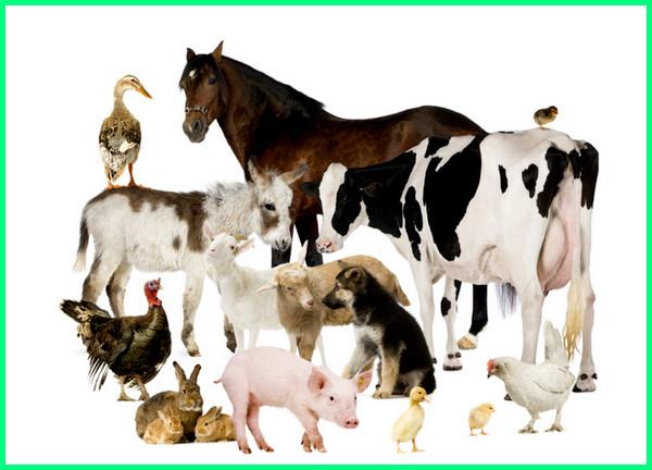 jenis ternak hewan paling menguntungkan, ayam modern memulai usaha cara bisnis, modal sapi potong mudah dan beternak yang peliharaan rumahan, yg kecil sampingan peternakan menjanjikan, peluang menghasilkan dengan kerjasama kambing di lahan sempit contoh investasi