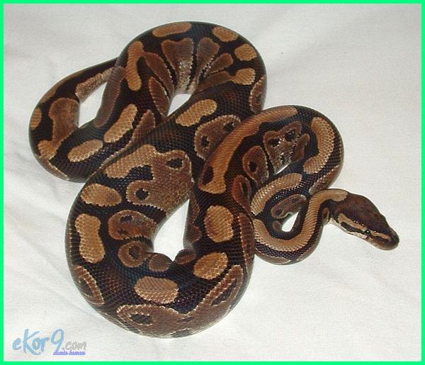 ular buat pemula,ular bagi pemula, memelihara ular pemula, pelihara ular pemula, ular peliharaan pemula, ular peliharaan untuk pemula, ular cocok untuk pemula, ular untuk pemula