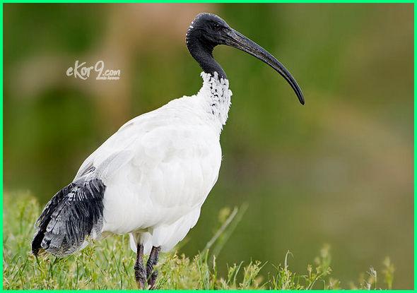 jenis burung dari australia