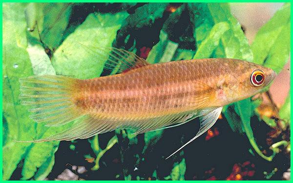 foto ikan cupang langka