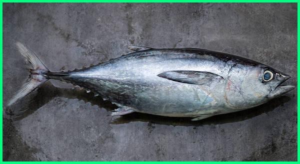 jenis ikan laut tongkol, jenis ikan tongkol tidak beracun, jenis ikan tongkol malaysia, jenis ikan tongkol untuk nasi dagang, jenis ikan tongkol yg tidak beracun