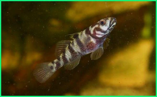 daftar ikan air tawar langka yang hanya ada di Indonesia