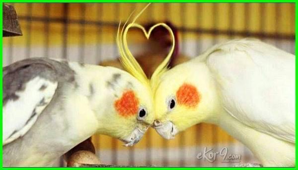 cara memelihara dan ternak falk, jual falk, cara memelihara falk parkit, burung falk jinak, burung falk, burung falk gacor, kandang burung falk, burung falk jantan, falk lutino, harga burung falk 2018, harga burung falk australia