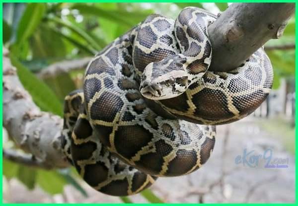 ular di negara vietnam