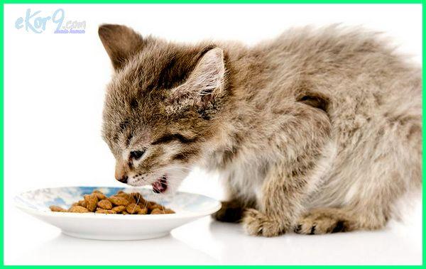 anak kucing umur berapa boleh makan, anak kucing mulai makan, makanan anak kucing, makanan untuk anak kucing, makanan anak kucing kampung, makanan bayi kucing, makanan kucing, makanan anak kucing umur 1 bulan, makanan kucing persia, makanan kucing anggora