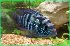 ikan akara, ikan hias akara, jenis ikan akara, pengertian ikan akara