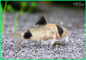 corydoras panda, panda cory, makanan ikan corydoras, ikan corydoras panda sterbai, ikan corydoras aquascape