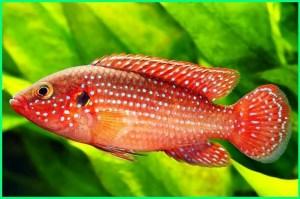 ikan siklid indonesia, ikan siklid terindah, foto ikan siklid, gambar ikan siklid, ikan jenis siklid, makanan ikan siklid, pakan ikan siklid, sifat ikan siklid, ukuran ikan siklid