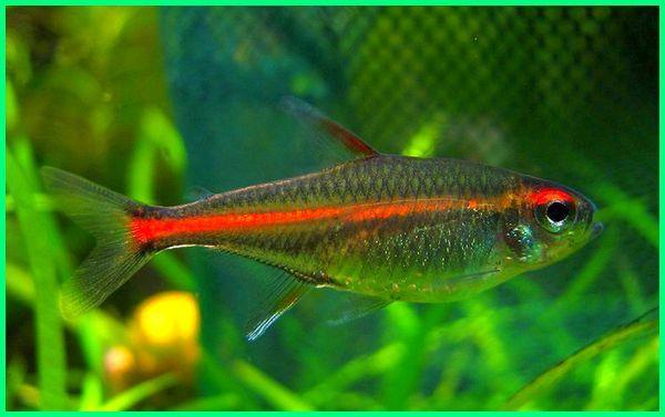 jenis ikan golongan tetra, jenis ikan hias tetra, jenis ikan hias neon tetra, jenis jenis ikan tetra
