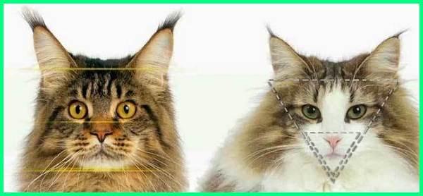 Perbedaan maine coon dan kucing hutan norwegia,Perbedaan maine coon dengan kucing hutan norwegia