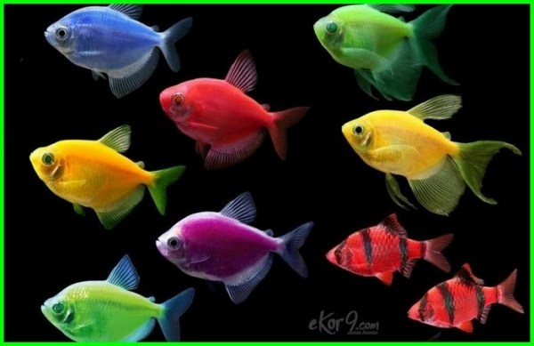 glofish indonesia, glofish harga indonesia adalah tank color sharks tanks sushi green aquarium australia gravel at petsmart angelfish petco decorations walmart amazon night a pregnant glo fish what is tetra how made cleaning starting can live alone with goldfish signs dying barb breeding babies background bubbler betta care blue light behavior led fish.com canada cycle compatibility cuidados chasing each other cost danio decor died diseases lifespan diet dragon male or female danios and tetras disappeared from eggs experience