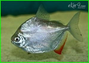ikan dolar, makanan ikan dolar, gambar ikan dolar, pakan ikan dolar, foto ikan dolar, ikan dolar perak, ikan dollar fish, ikan hias dolar, ikan hias dollar, harga ikan hias dollar, jenis ikan hias dolar