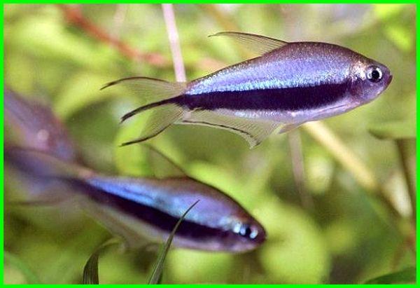 ikan emperor tetra, harga ikan emperor tetra, ikan black emperor tetra, ikan kaisar, ikan kaisar gigi kecil, ikan koi kaisar jepang, ikan hias kaisar, kolam ikan koi kaisar jepang