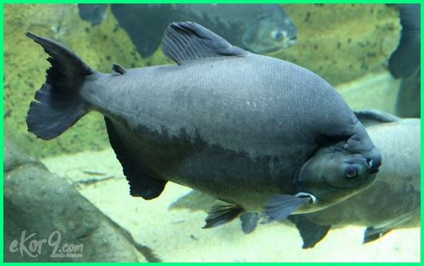 ikan pacu, harga ikan pacu, ikan pacu terbesar, jual ikan pacu, harga ikan pacu albino, gambar ikan pacu, ikan pacu malaysia, jenis ikan pacu, umpan ikan pacu kolam, umpan ikan pacu terbaik, ikan pacu piranha, ikan pacu umpan, umpan ikan pacu kolam bayar