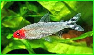 ikan tetra merah, ikan tetra mata merah, ikan tetra merah ekor belang hitam