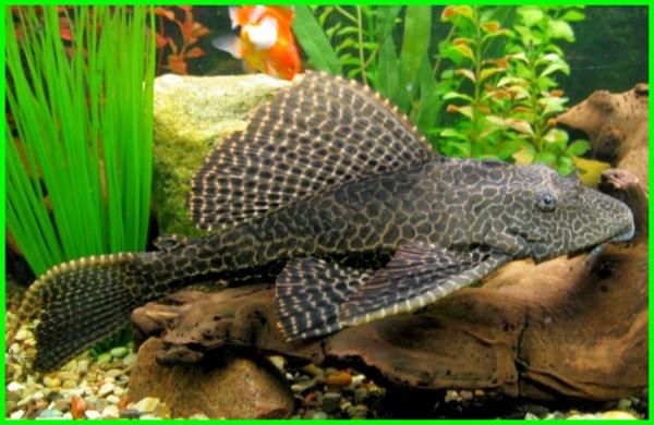 tentang ikan sapu sapu, tentang ikan sapu sapu hias, fakta tentang ikan sapu-sapu, jurnal tentang ikan sapu-sapu, ikan sapu sapu adalah, ikan sapu sapu agresif, bahasa inggris ikan sapu sapu, ikan sapu sapu.com, ikan sapu sapu indonesia, ikan sapu sapu klasifikasi, ikan sapu sapu manfaat, ikan sapu sapu nama latin
